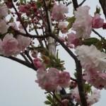 Cherry var. Higurashi ヒグラシ 花の様子