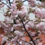 Cherry var. Hanagasa ハナガサ 花の様子