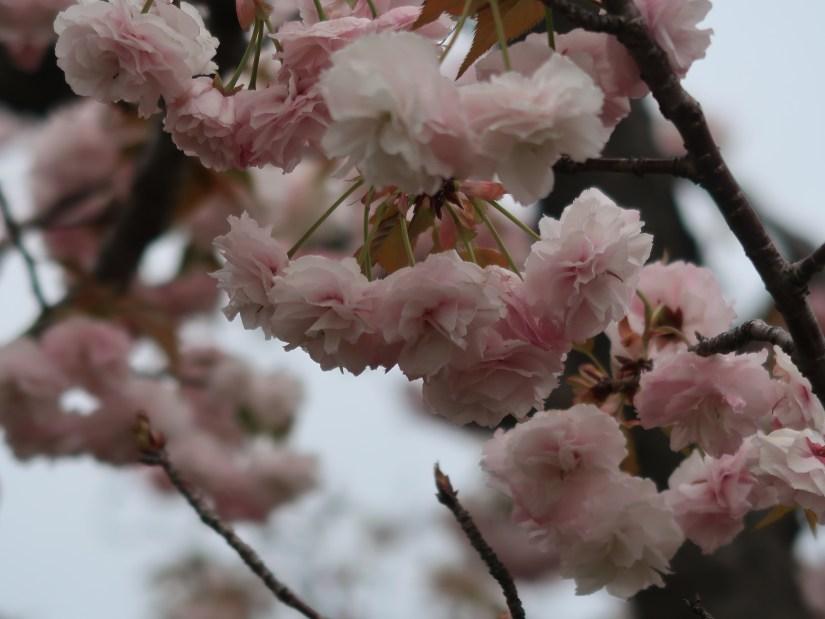 Cherry var. Hanagasa ハナガサ