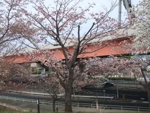 Cherry var. Hanagasa ハナガサ 花の咲いている木の様子