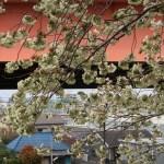 Cherry var. Ukon ウコン 花の咲いている様子