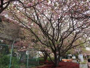 Cherry var. Kouka コウカ 紅華 花の咲いている木の様子