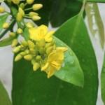 Tonkin jasmine/ イエライシャン 咲き始めの花の様子