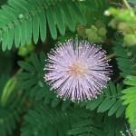 Sensitive plant/ オジギソウ