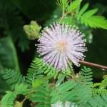 Sensitive plant/ オジギソウ 花の様子