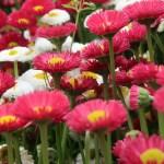 Daisy/ ヒナギク 花の姿
