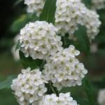 Meadow sweet/ こでまり花の姿