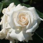 Modern garden rose/ Hybrid Tea/Pascali パスカリ 花の姿