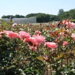 Modern garden rose/ Grandiflora/ Queen Elizabeth クイーンエリザベス 花の咲いている様子