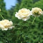 Modern garden rose/ HT Hybrid Tea/ Elina / エリナ 花の姿