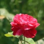 Modern garden rose/ Floribunda/ Arabesque アラベスク 花の姿