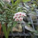 Miniature wax plant/ ホヤベラ 花の咲いている様子
