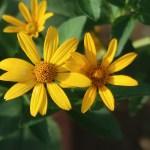 Orange sunflower/ キクイモモドキ 花の姿