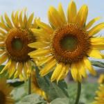 Sunflower/ ヒマワリ 花の姿
