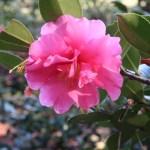 Sasanqua camellia/ サザンカ 山茶花 花の姿