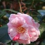 Japanese camellia/ ツバキ 品種:通鳥