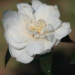 Japanese camellia/ ツバキ 品種:不二の雪