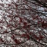 Witch-hazel/ アカバナマンサク 花の咲いている様子