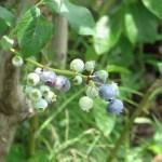 Blueberry/ ブルーベリー実のなっている様子