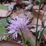 Swamppink/ ショウジョウバカマ 花の姿