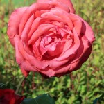 Modern garden rose/ Hybrid Tea Duftwolke ドゥフトボルケ フラグラント・クラウド