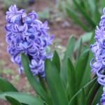 Common hyacinth/ ヒアシンス 花の様子