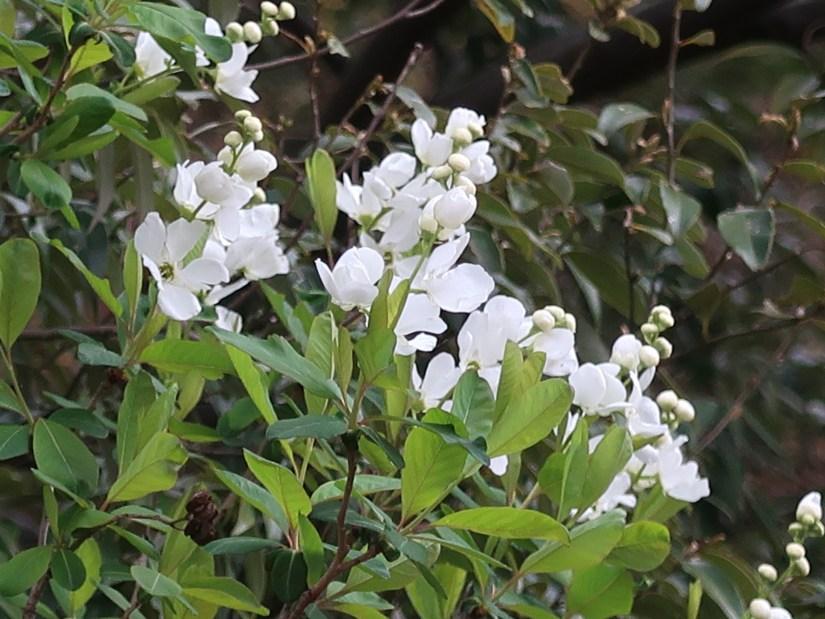 Pearl bush/ リキュウバイ