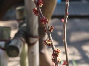 Alchornea trewioides/ オオバベニガシワ 雄花と雌花(後方)