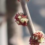 Alchornea trewioides/ オオバベニガシワ 雄花