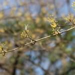 Cornelian cherries/ サンシュユ 花の咲いている様子 散り際