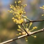 Cornelian cherries/ サンシュユ 花の姿 散り際