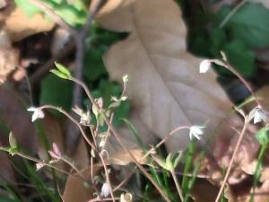 Semiaquilegia adoxoides/ ヒメウズ 花の咲いている様子