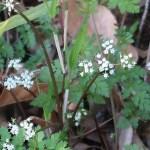 Chamaele decumbens/ セントウソウ 花の様子