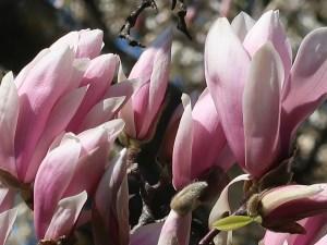 Saucer magnolia/ ソトベニハクモクレン 花の姿