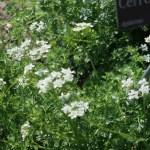 Chervil/ チャービル 花の様子