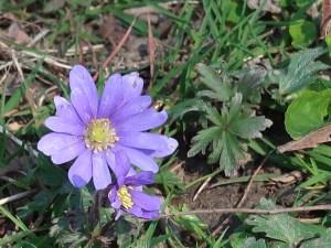 Balkan anemone/ アネモネ・ブランダ 花の姿