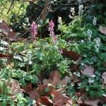 Fumewort/ オランダエンゴサク 花の咲いている様子