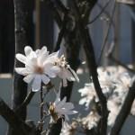 Star Magnolia シデコブシ 花の様子