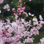 Hall crabapple/ ハナカイドウ 花の様子