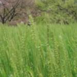 Barley/ オオムギ 花の咲いている様子