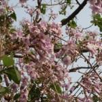 Empress tree/ キリ 花の咲いている様子