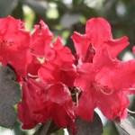 Rhododendron シャクナゲ 品種: Halfdan Lem