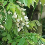 Silky wisteria/ ヤマフジ 品種: 白花美短 花の様子