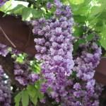 Japanese wisteria/ フジ 花の様子