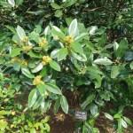 Tarajo holly/ タラヨウ 花の咲いている様子