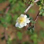Wild/ species rose/ モリイバラ