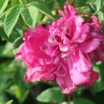 Species Cross/ Turkstan rose/ マイカイ 花の様子