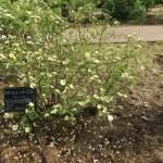Wild/ species rose/ Rosa hugonis 花の咲いている様子