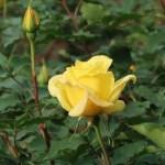 Modern garden rose/ Hybrid Tea/ Summer sunshine サマー・サンシャイン 花の様子