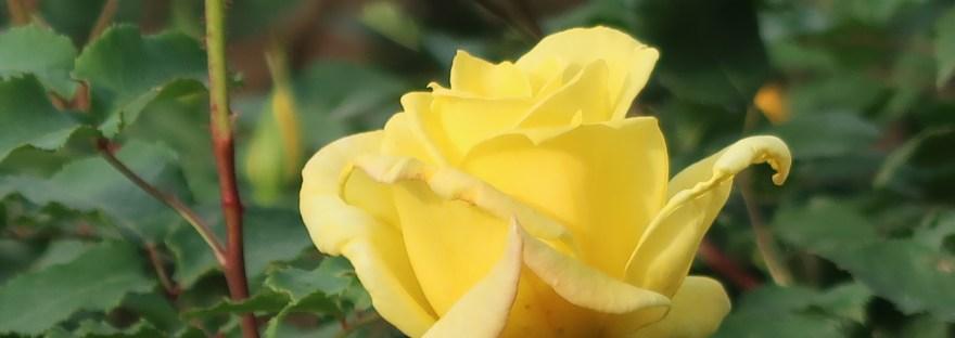 Modern garden rose/ Hybrid Tea/ Summer sunshine サマー・サンシャイン